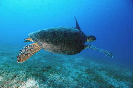 Tartaruga Marinha Subaqu