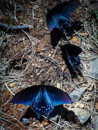 Three blue butterflies dancing around