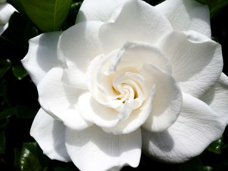 zoomed in: Zoomed in image of a white Gardenia