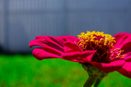 zoomed in: Zoomed in image of a bright pink Zinnia Flower