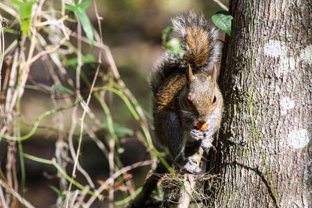 furry tail: Squirrel with an acorn