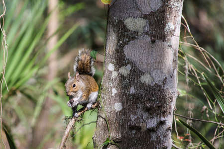 furry tail: Squirrel Holding an Acorn