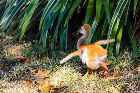sandhill crane: Image of a baby Gray Sandhill Crane Flying