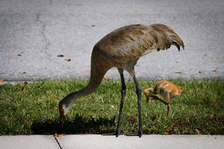 Image of a Gray Sandhill Cranes Eating photo