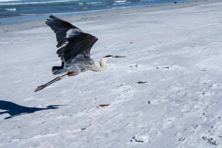 Image of a Great Blue Heron Flying photo