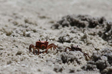 Image of a Red Sand Crab photo