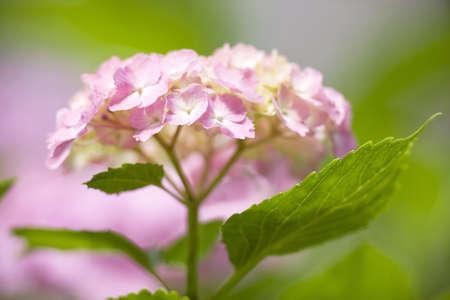 The hydrangea photo