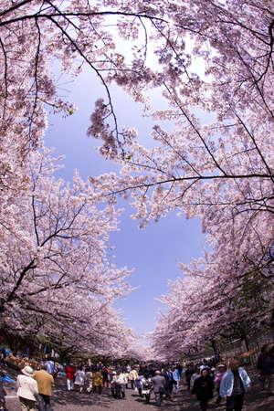 cerezos en flor: Flor de visualizaci�n de Ueno-koen en Tokio Editorial