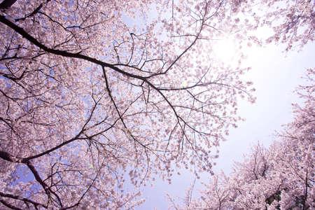 fleur de cerisier: Des rang�es de cerisiers en fleurs
