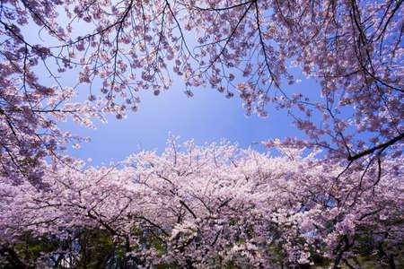 cerezos en flor: Las filas de cerezos en flor Foto de archivo