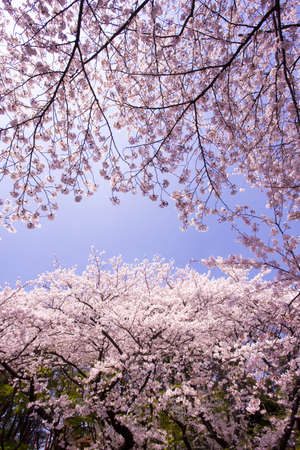 Rows of cherry blossom trees in full blossom Stock Photo - 13260871