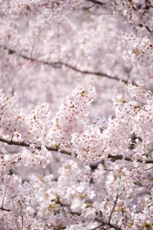 fleurs de cerisiers: Cerisiers en fleurs Banque d'images