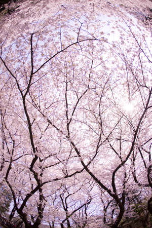 Rows of cherry blossom trees in full blossom
