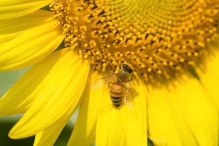 The sunflower photo