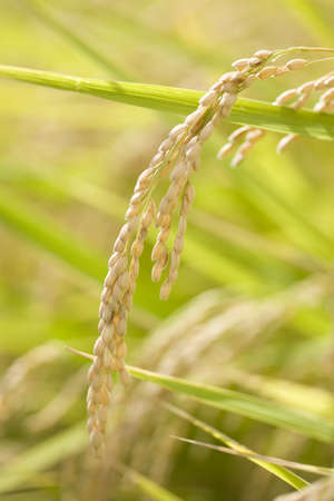 Ear of rice which grew Stock Photo - 13260549