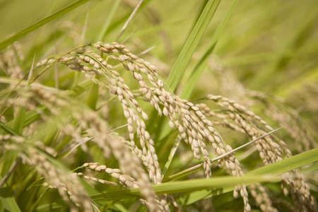 Ear of rice which grew Stock Photo - 13260557