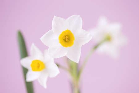 水仙の花 写真素材