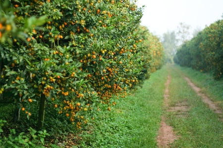 citruses: Orange is full of prolific Orange tree planted in the garden north of Thailand Stock Photo