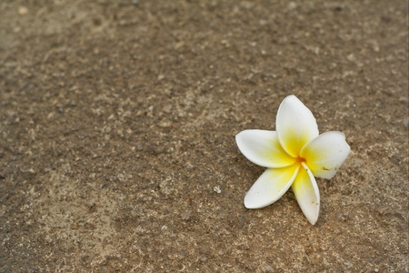 Plumeria flowers fall on the concrete floor in the summer Stock Photo - 9141933