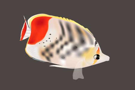 Clown Butterfly Fish Closeup Vettoriali