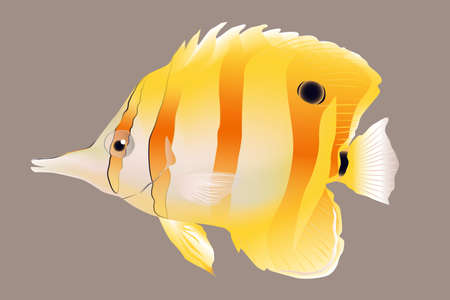 Copper Banded Butterfly Fish, vector