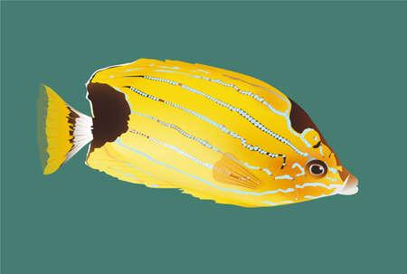 Bluestripe Butterflyfish vector illustration sea ocean marine