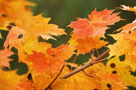 red maple leaves photo