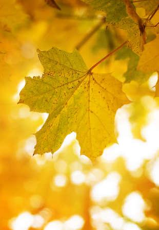 Maple leaf in sunshine photo