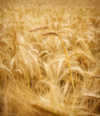 viable: wheat stem Stock Photo