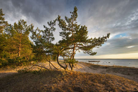 scandinavian landscape: Pines on the beach