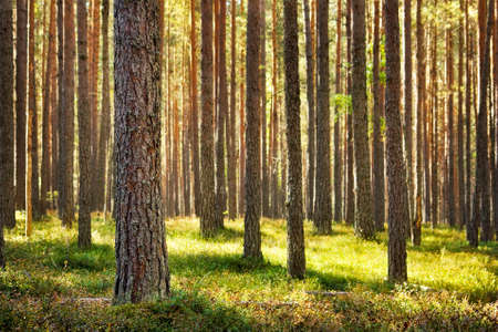 national forests: Pine forest Stock Photo