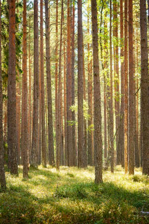 forest wood: Pine forest Stock Photo