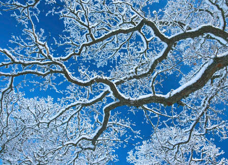 frost covered: Branches covered with snow
