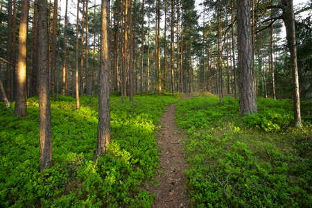 footway: Forest with bilberry bushes