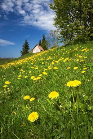 gentle dream vacation: Field of dandelions