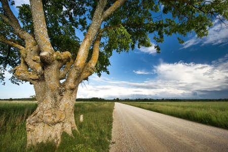 elm: Old elm at gravel road