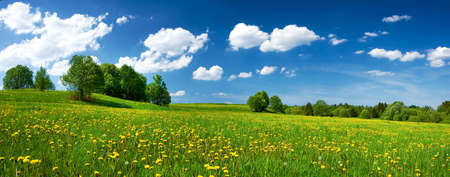 field of flowers: Field with dandelions and blue sky