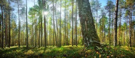 木漏れ日の森のパノラマ 写真素材