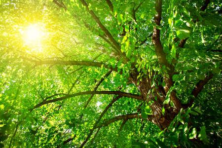 tilo: Linden árbol de follaje