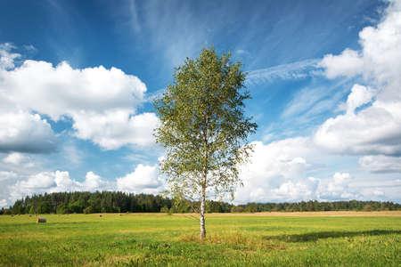 Birch tree at the field Foto de archivo