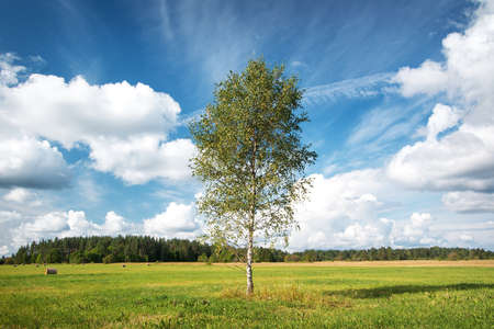 Birch tree at the field
