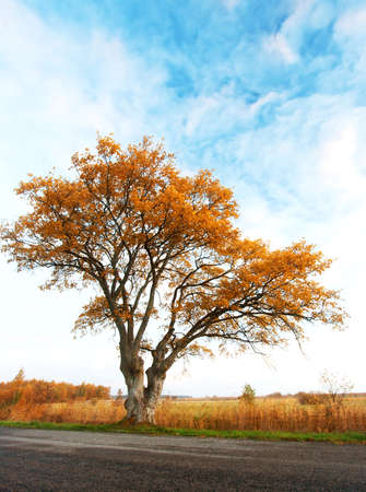 elm: Lonely tree on the road in autumn