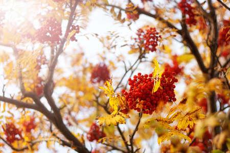 sorbus: Rowan tree branches in autumn