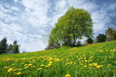 spring landscape: Field with yellow dandelions and blue sky Stock Photo