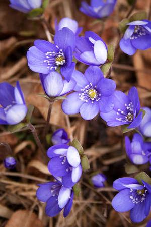 hepatica: anemone hepatica flowers in the spring forest