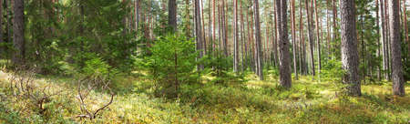 coniferous forest: coniferous forest in Lahemaa national park forest Stock Photo