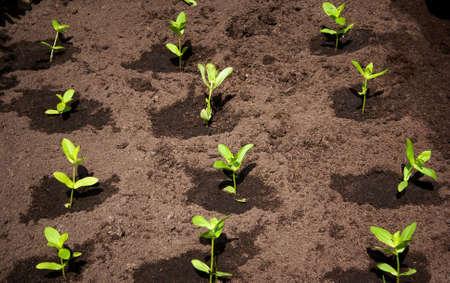 black soil: seedlings in the garden on black soil Stock Photo