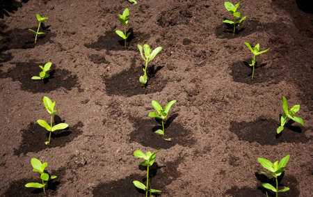 seed bed: seedlings in the garden on black soil Stock Photo