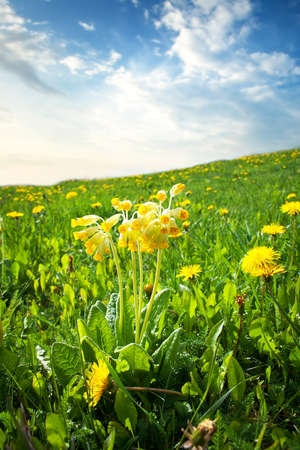 primula: cowslip flowers on the field at evening Stock Photo