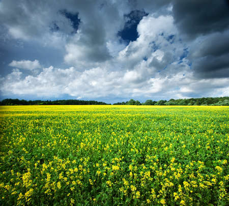 oilseed rape: rape field with dramatic clouds in the sky Stock Photo